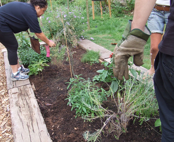 Weeding the herbs