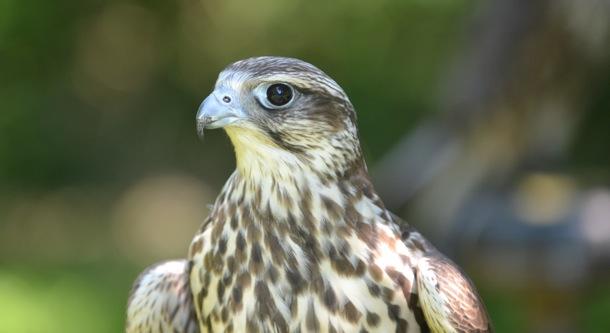 Falcon-crop