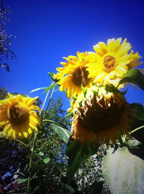 SunflowersCuratedBy